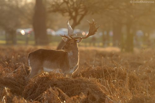 Fallow deer, Dama dama, buck, male, backlit in evening light, Bushy Park, London.