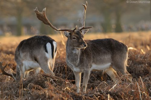 Fallow deer, Dama dama, buck, male, two in evening light, Bushy Park, London.