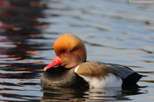 Red-crested pochard, Netta rufina, Bushy Park, London