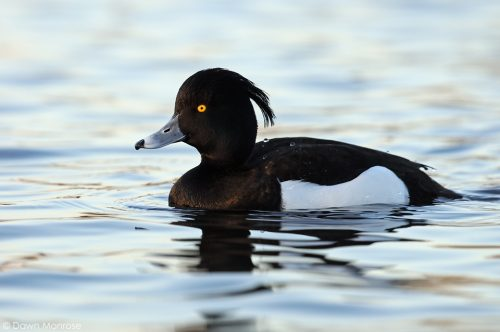 Tufted duck, Aythya fuligula, male, Bushy Park, London